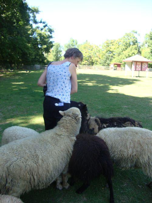 Mom feeding the sheep at Friendly Farm