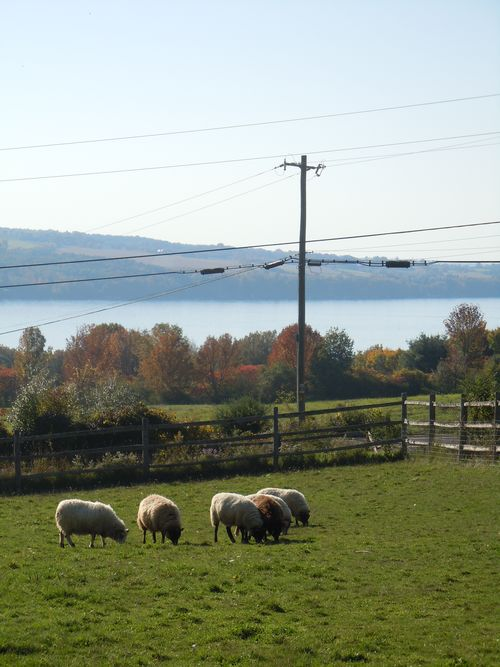 Our sheep, grazing happily.  We're not eating them for dinner.