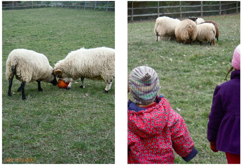Feeding pumpkins to the sheep